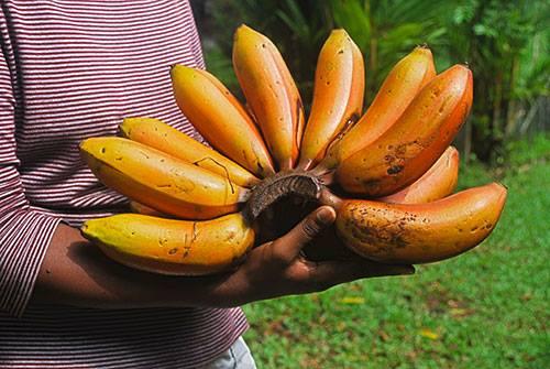 Rote Bananen – ein Geschmackserlebnis