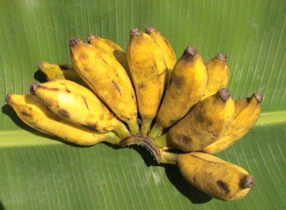 sini banane