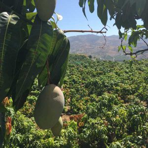 mangofarm