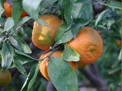 clementinen sizilien