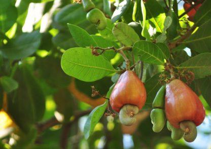 cashew frucht