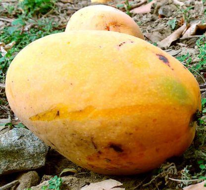 mango dom