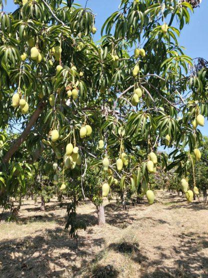 Mango Baum Ataulfo
