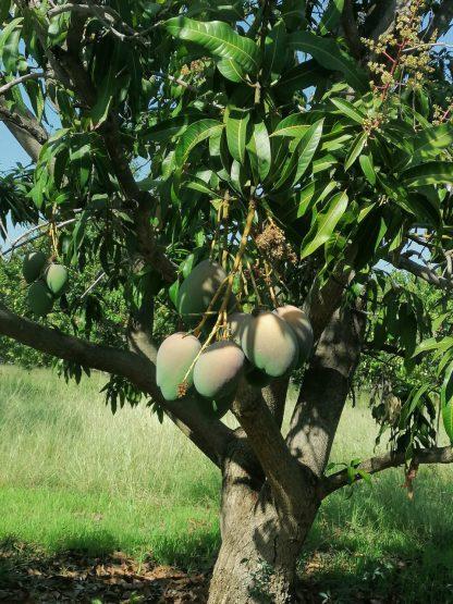 Bio Mangobaum