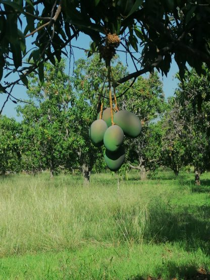 Mango Baum Haden Mexiko