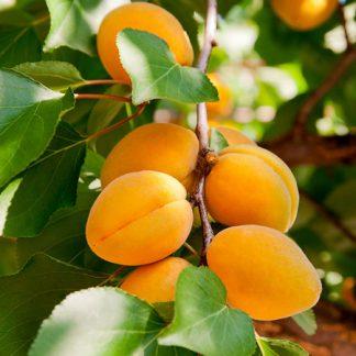 aprikosen aus frankreich