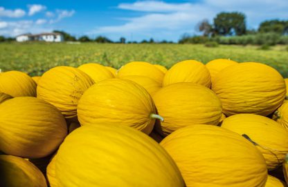 Honigmelonen Feld